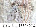 雀蛾 昆虫 蛾の写真 43524218