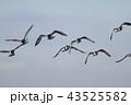ミヤコドリの飛翔 43525582
