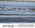 干潟に群れるミヤコドリ 43525599