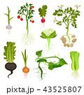ベジタブル 野菜 ベクタのイラスト 43525807