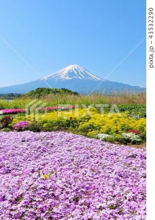 富士山と綺麗な芝桜 43532290