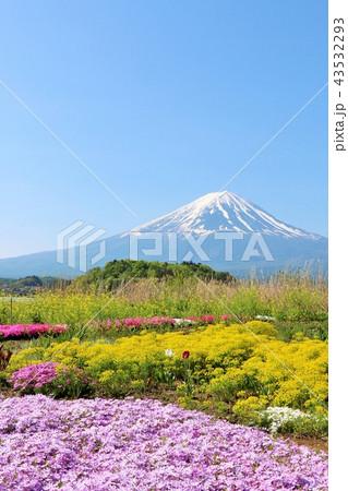 富士山と綺麗な芝桜 43532293