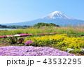 富士山 春 花畑の写真 43532295