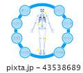 整体 カイロプラクティック 骨格のイラスト 43538689