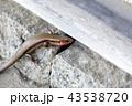 トカゲ 蜥蜴 爬虫類の写真 43538720