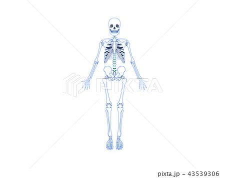 全身骨格(正面) 43539306