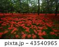 彼岸花 曼珠沙華 花の写真 43540965