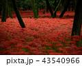 彼岸花 曼珠沙華 花の写真 43540966