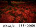 彼岸花 曼珠沙華 花の写真 43540969
