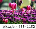 咲く 花 開花の写真 43541152