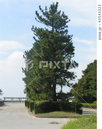 稲毛海岸入り口の黒松の植え込み 43543323
