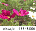 秋桜コスモスの赤色の花 43543660