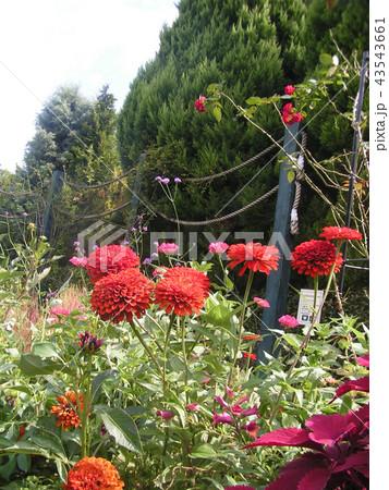大きい赤い綺麗な花はダリアの花 43543661