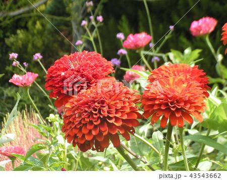 大きい赤い綺麗な花はダリアの花 43543662