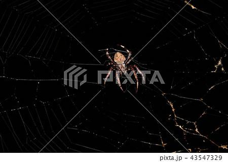 オニグモの仲間、円網を張るクモ 43547329