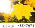 金色 黄金色 ゴールデンの写真 43547974