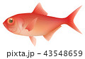 金目鯛 魚 魚類のイラスト 43548659