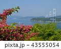 タニウツギと来島海峡展望館から見た来島海峡大橋 43555054