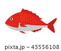 鯛 魚 魚類のイラスト 43556108