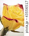花びら 黄色い 黄の写真 43556517