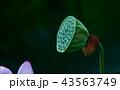 ハナ 咲く 花の写真 43563749