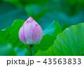 ハナ 咲く 花の写真 43563833