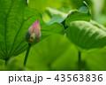 ハナ 咲く 花の写真 43563836