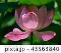 ハナ 咲く 花の写真 43563840