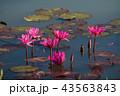 ハナ 咲く 花の写真 43563843
