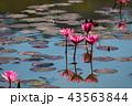 ハナ 咲く 花の写真 43563844