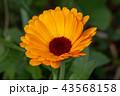 花 植物 ガーベラの写真 43568158