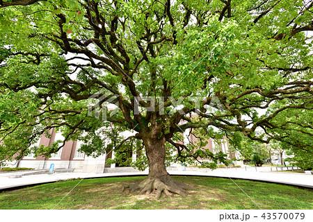 京都大学時計台記念館前のクスノキ 京大のシンボル 京大エンブレム 43570079