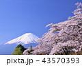 日本の春 富士山と桜 43570393