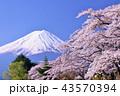 日本の春 富士山と桜 43570394