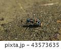 ハンミョウ 昆虫 ナミハンミョウの写真 43573635