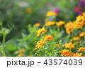 花 マリーゴールド オレンジ色の写真 43574039