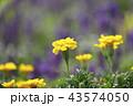 花 花畑 黄色の写真 43574050