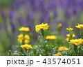 花 黄色 マリーゴールドの写真 43574051