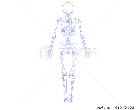 骨格の裏側 43575953