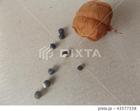 フウセンカズラの実とハートのマークの種 43577338