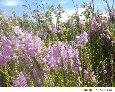 ハナトラノオの紫色の花 43577348