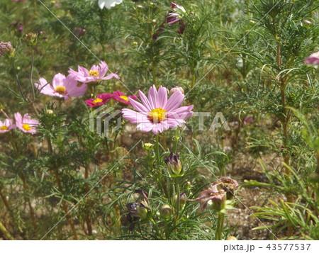 秋桜コスモスの桃色の花 43577537