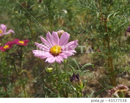 秋桜コスモスの桃色の花 43577538