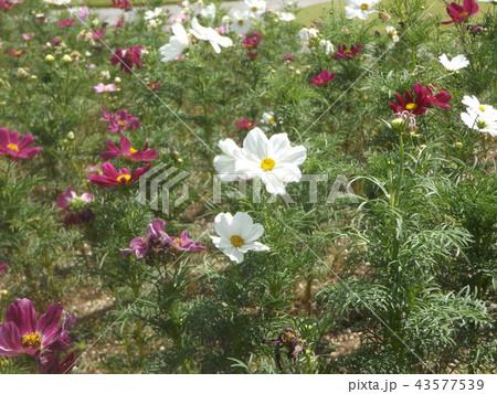 秋桜コスモスの白色の花 43577539