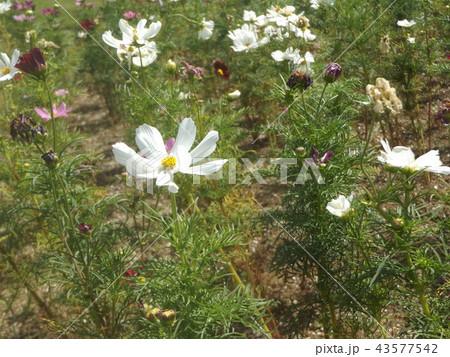 秋桜コスモスの白色の花 43577542