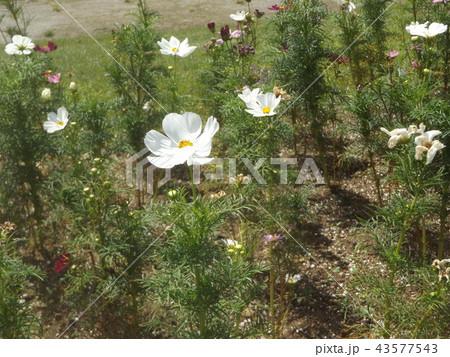 秋桜コスモスの白色の花 43577543