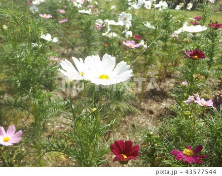 秋桜コスモスの白色の花 43577544