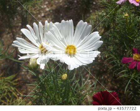 秋桜コスモスの白色の花 43577722