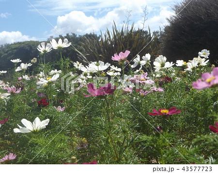 秋桜コスモスの白色と桃色の花 43577723