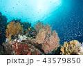 ラジャアンパットのソフトコーラルと小魚 43579850